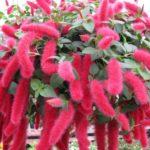 растение лисий хвост