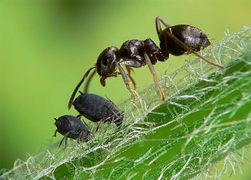 муравей и тля рядом
