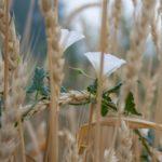 как бороться с вьюнком полевым