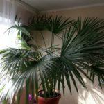как вырастить пальму в комнатных условиях