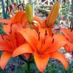 садовые лилии на участке