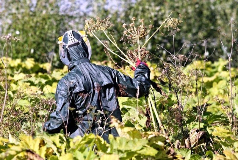 Борщевик – ядовитое растение: борьба с сорняком, особенности