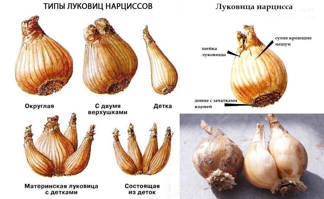 строение луковицы нарцисса