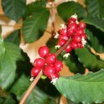 Можно вырастить кофейное дерево в домашних условиях