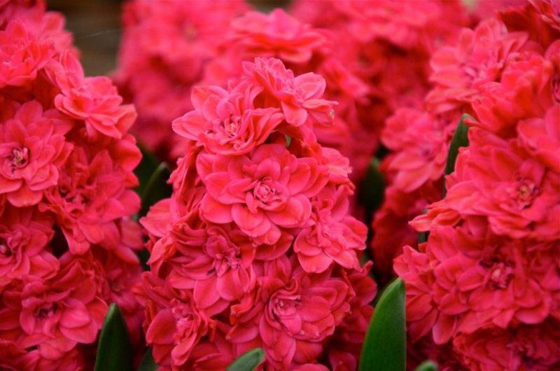 Гиацинт махровый Холлихок (Hyacinthus Hollyhock)