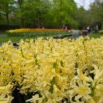hyacinthus Gipsy Princess