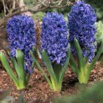 Гиацинт Blue Pearl