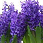Гиацинты сиреневые и фиолетовые