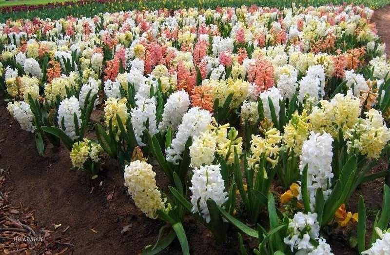 Посадка и уход за садовым растением гиацинт в домашних условиях | 523x800