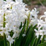 белые гиацинты в саду