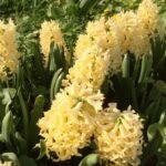 гиацинты в саду