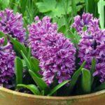 hyacinthus Miss Saigon