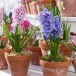 как растить гиацинты в комнатных условиях