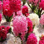 как цветет гиацинт
