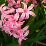 какие бывают розовые гиацинты