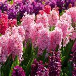 многообразие цветов гиацинтов