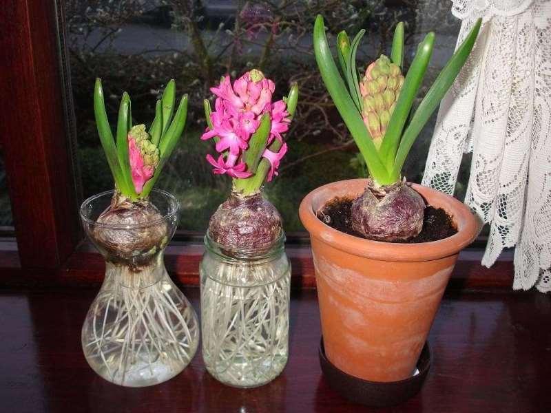 Гиацинт: размножение в домашних условиях