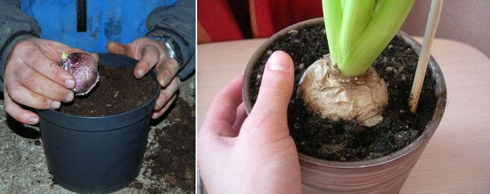 посадить гиацинт в горшок