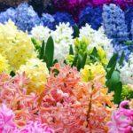 цветные гиацинты