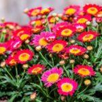 Однолетние хризантемы
