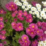 Белые и розовые ромашковые хризантемы в саду