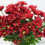 Хризантема Бонтемпи