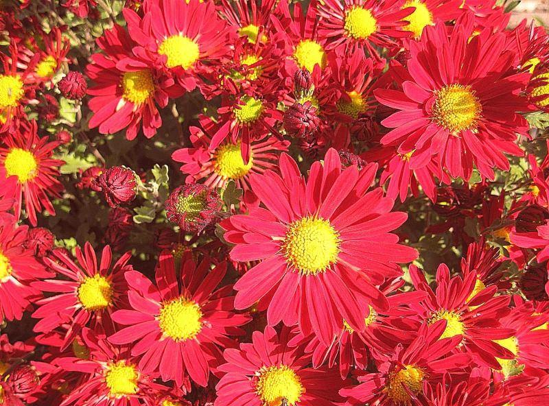Хризантема Красная ромашка