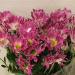 Хризантема Тошка