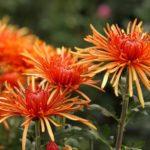 Кустовая хризантема в Никитском ботаническом саду