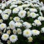 Кустовая хризантема Радость