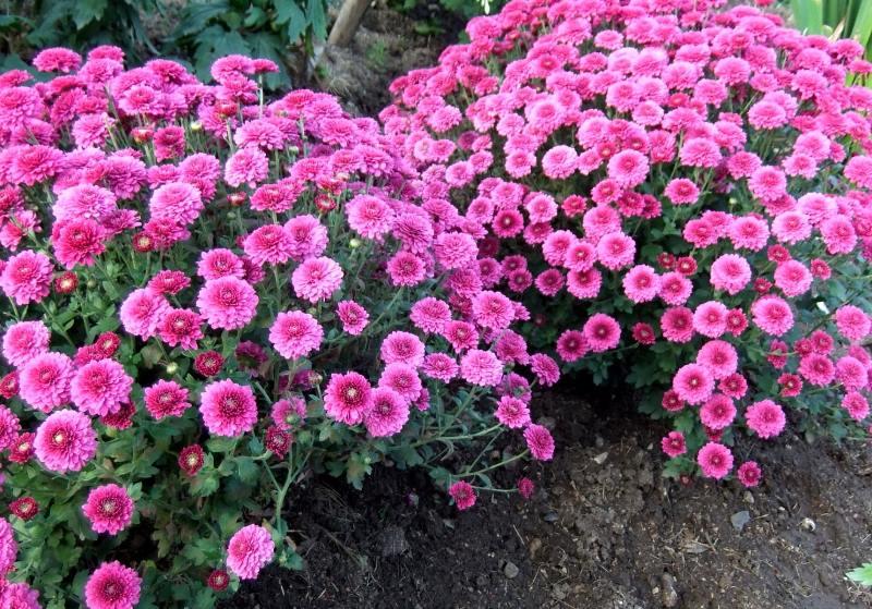 Мелкоцветковая хризантема мультифлора