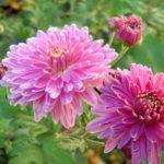 Одноголовая корейская хризантема Виктория