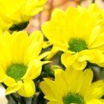 Одноцветковая хризантема Сора