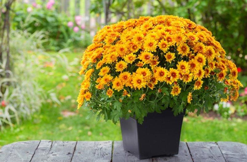 Желтые мелкоцветные хризантемы