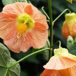 Абутилон Маленький принц в цветении