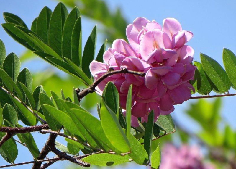 Розовая акация (робиния клейкая): описание растения
