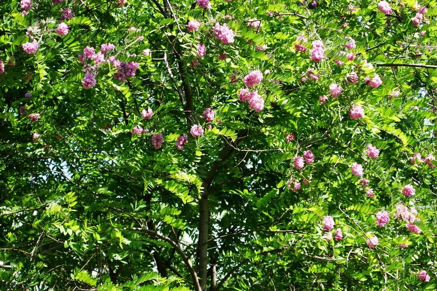 Дерево робиния розовая