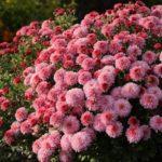 Помпонная розовая хризантема мультифлора