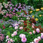 Цветущие хризантемы корейские