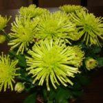 Игольчатые зеленые хризантемы