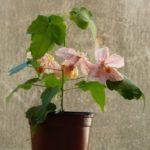 абутилон Амели выращивание дома