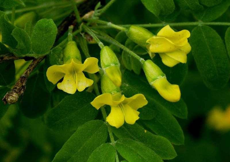 Карагана древовидная (акация желтая): ботаническая характеристика и применение