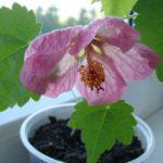 как вырастить абутилон из семян дома