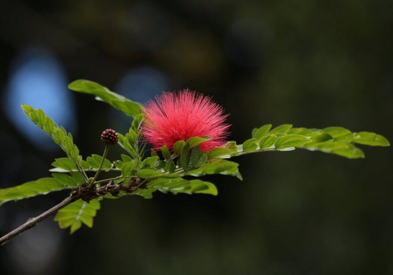 Альбиция ленкоранская или шелковое дерево