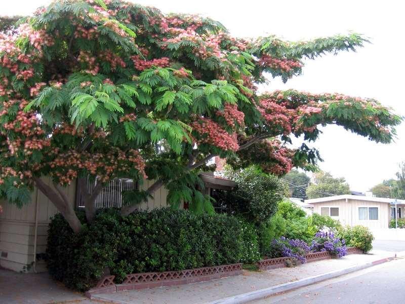 Альбиция ленкоранская – высокое листопадное дерево