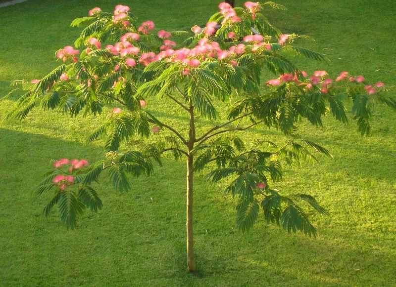 Шелковое дерево в ландшафте