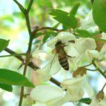 пчела на робинии