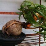 Кокосовая пальма бонсай