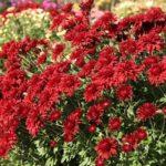 Красные хризантемы в саду