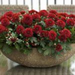 Махровые хризантемы в оригинальном вазоне